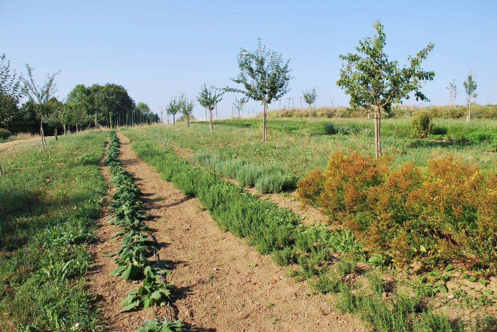 culture de plantes aromatiques et médicinales haute savoie bio